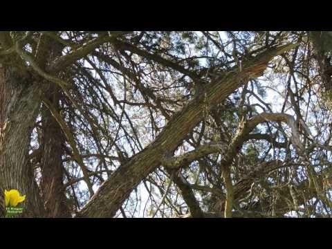 Vídeo de los árboles singulares de Villaviciosa de Odón. http://www.elhogarnatural.com/arboles%20singulares/Pino%20Carrasco%20del%20Castillo%20de%20Villaviciosa.htm