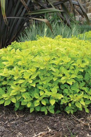 Marjoram Golden. Golden leaves, this is a great edging plant too