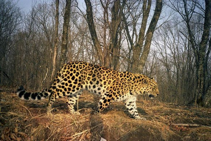 An Amur leopard is caught on camera at Land of the Leopard National Park in Russia./ this is a victory for this amazing cat!!!!!