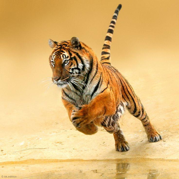 Ein Königstiger setzt zum Sprung auf seine Beute an, meist Hirsch oder Wildschwein. Indiens britische Kolonialherren bezeichneten einst besonders große und kontrastreich gefärbte Exemplare des Bengalischen Tigers als »königlich«. Später wurde der Begriff auf alle indischen Tiger übertragen. – Diese Karte hier online kaufen: http://bkurl.de/pkshop-212103 Art.-Nr.: 212103 Herr der Wildnis | Foto: © H.Schmidbauer/Blickwinkel | Text: Rolf Bökemeier