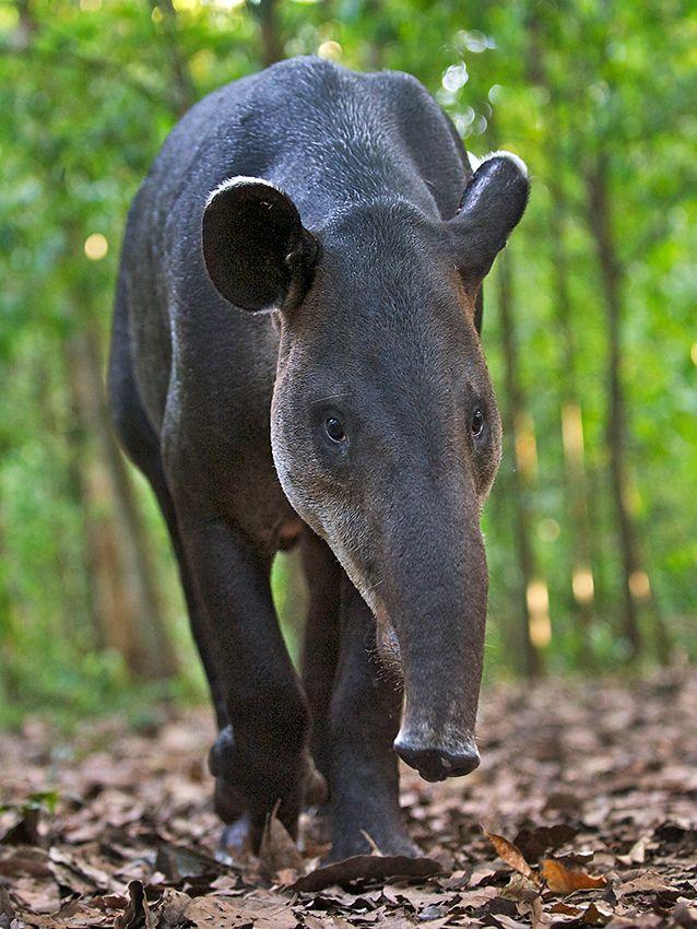Tapir, Corcovado National Park, Costa Rica