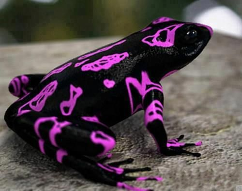 Unique frog !! The Costa Rican Variable Harlequin Toad, also known as the clown frog.