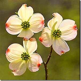 Meaning of the Dogwood tree Blooms are white that represent Purity and Love ad sacrifice that Jesus was crucified for you and me and the red represents Jesus blood that was shed for our sins at the Cross. What a lovely way that nature shows us everyday Jesus Love for us. I am blessed to have a Grandmother that shared this with me as a child. Now she is in heaven with Jesus. I love you Mary Waldrop. Thank you Jesus for dying on the Cross for my transgressions♥