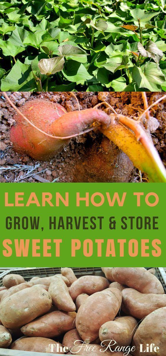 How To Grow Harvest And Store Sweet Potatoes Garding Pinterest Vegetable Garden Growing