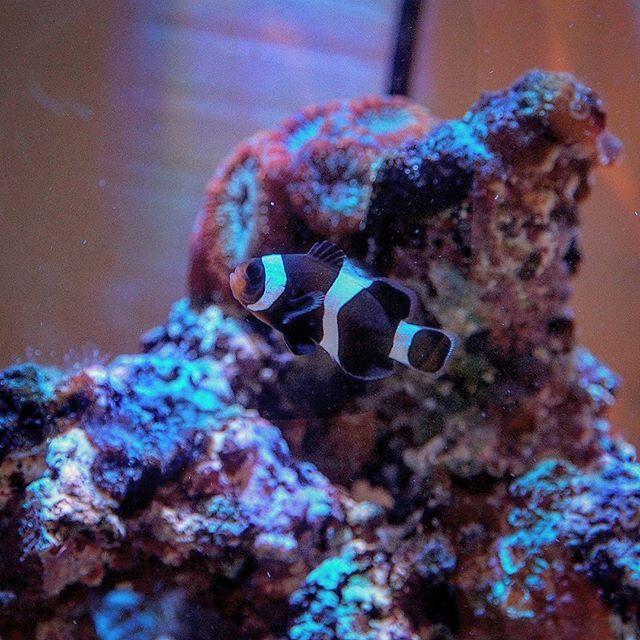 【hiro.s_blue】さんのInstagramをピンしています。 《黒ニモちゃん #ブラックオセラリス お迎えしました✨ #カクレクマノミ#海水魚#熱帯魚 #アクアリウム#マリンアクアリウム #サンゴ水槽#サンゴ飼育 #crownfish#coraltank#reeftank #aquarium#marineaquarium #olympus#ミラーレス一眼》