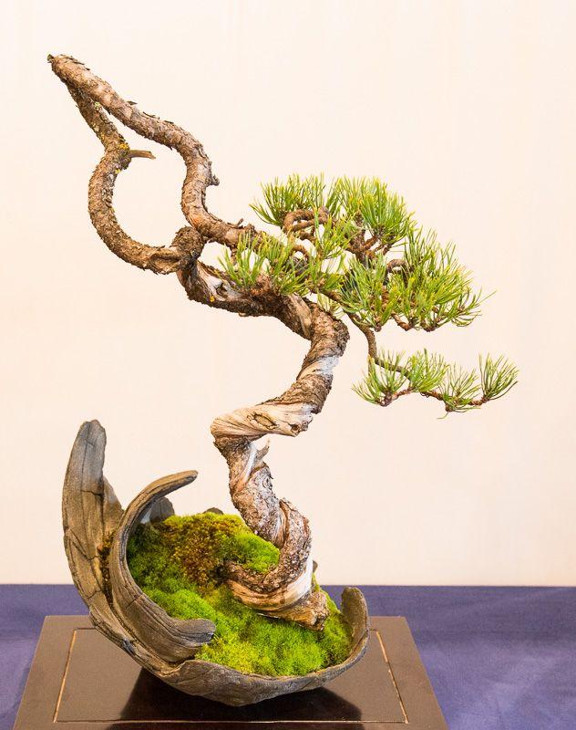 Berg-Kiefer (Pinus mugo) auf der Bundesausstellung 2014 in Mannheim.
