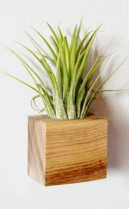 Air plant + magnetic planter