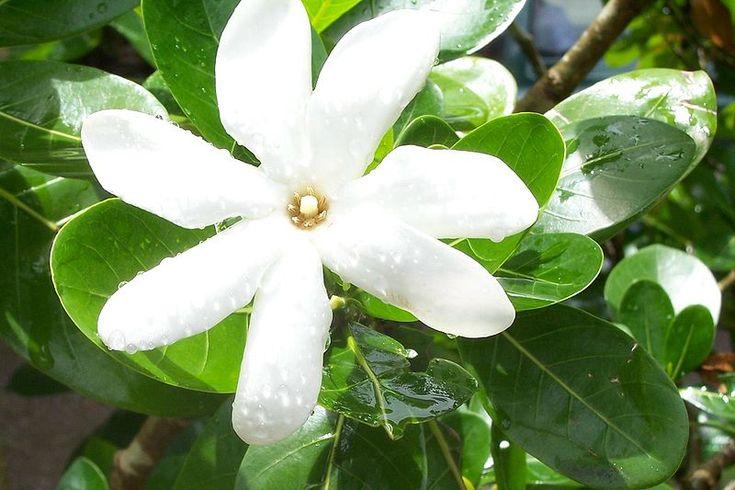 Olio di MONOI --  L'olio di #Monoi è fatto con olio di #cocco puro al 100% e fiori freschi di #tiarè Tahitiani, un piccolo fiore bianco appartenente alla famiglia delle Rubiaceae.  Questo fiore dalle potenti proprietà antisettiche naturali e l'aroma #dolce, crea il meraviglioso e versatile Monoi quando unito all'olio di cocco, rendendolo molto popolare per la sua efficacia e per il suo #profumo.  http://bit.ly/1soaGbk