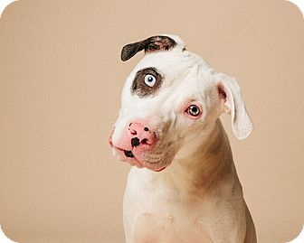 Houston, TX - Dalmatian/American Staffordshire Terrier Mix. Meet Pimento Pepper, a dog for adoption. http://www.adoptapet.com/pet/17247736-houston-texas-dalmatian-mix