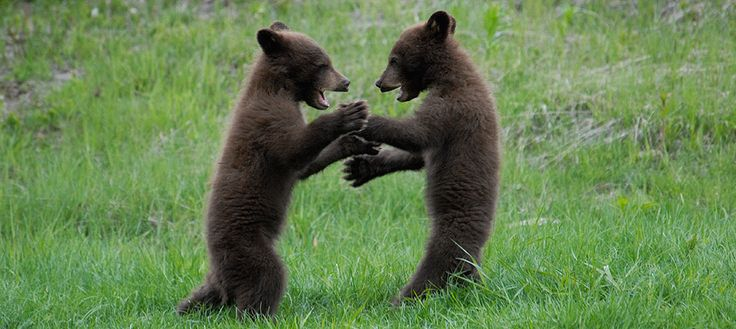 Patty cake! Patty cake! Black bear cubs. Ucluelet, Pacific Rim.