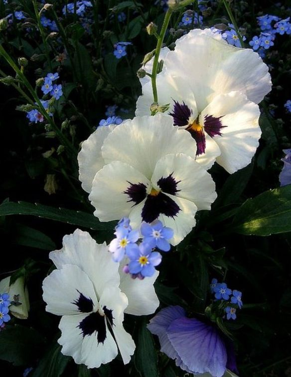Beautiful Pansies <3