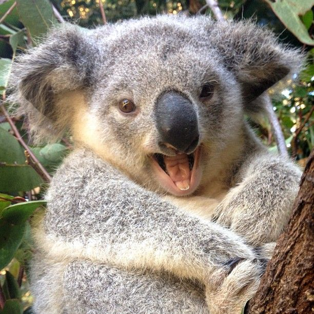 43 best Koalas images on Pinterest | Koala bears, Koalas ...