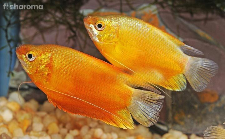 Extensive Care Guide For The Stunning Gourami Fish Breeds Betasfish Blackenfish Bluegill Fish Breeding Aquarium Fish Live Aquarium Fish