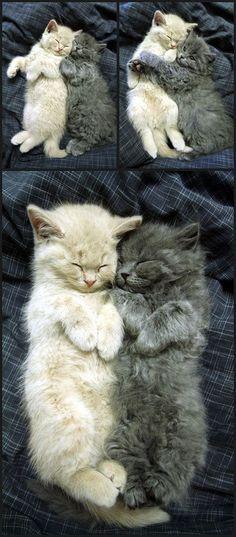 Cuddling Cats cute animals cat cats adorable animal kittens pets kitten funny animals Why do cat - Catsincare.com!