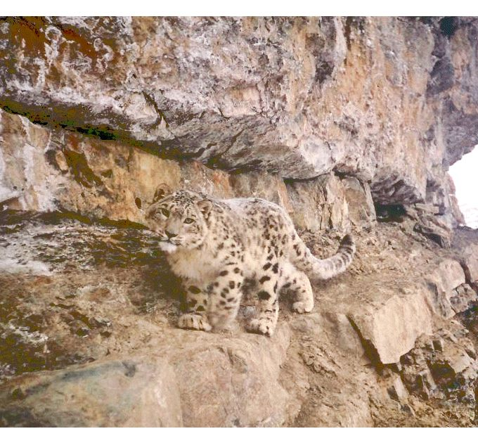Help Save Snow Leopards at The Rainforest Site