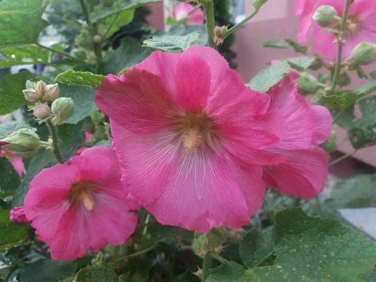 rózsaszín mályva / pink mallow