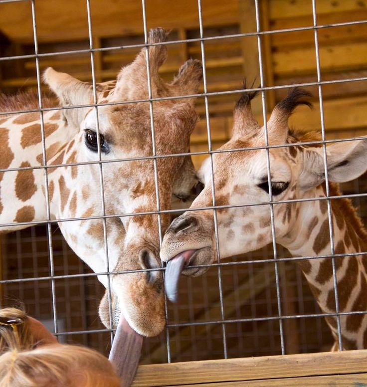 Animal Adventure Park Live Cam - April the Giraffe Height and Weight | april the Giraffe live cam today from AAP and update