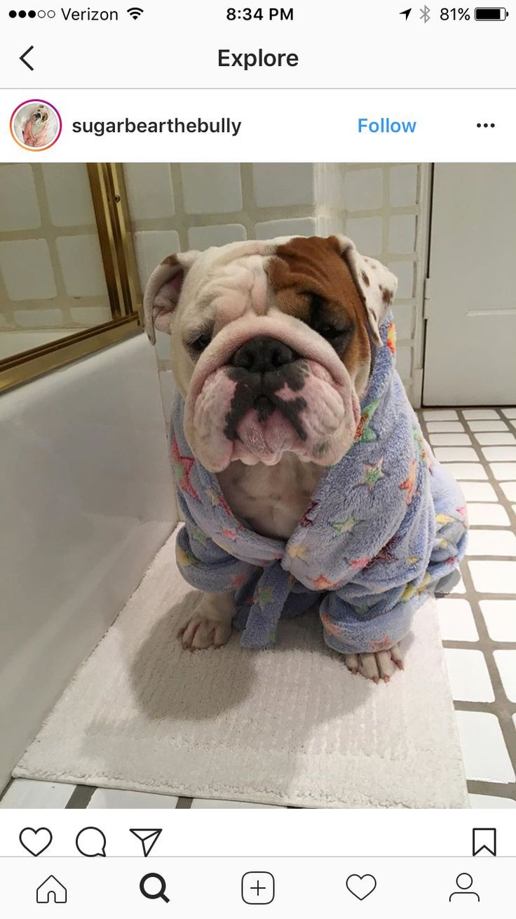 This English Bulldog In A Robe Is Absolutely Adorable Www