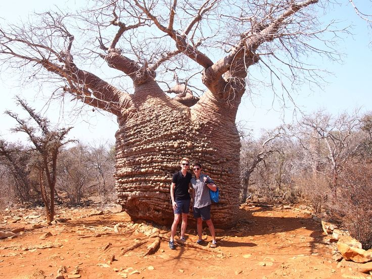 Madagascar's baobab tree, image sent by our travellers Richard and James
