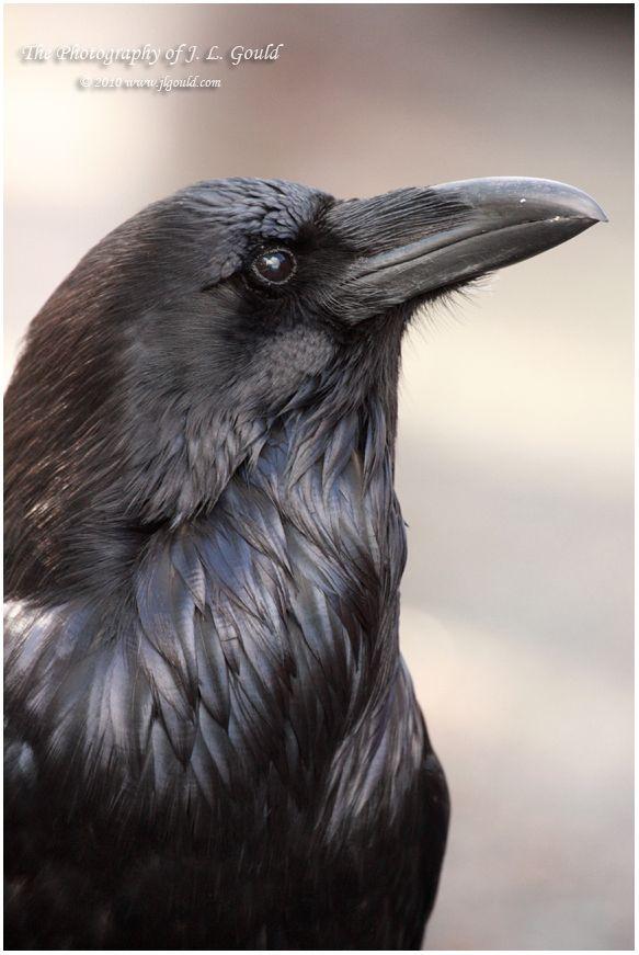 The Raven by ImpedOut.deviantart.com