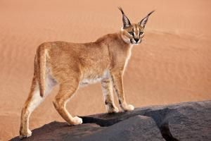 Cats: The Perfect Predators: This caracal is one of about 41 species of cats alive today.