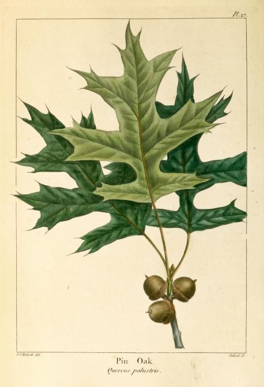 Pin Oak (Quercus palustris).