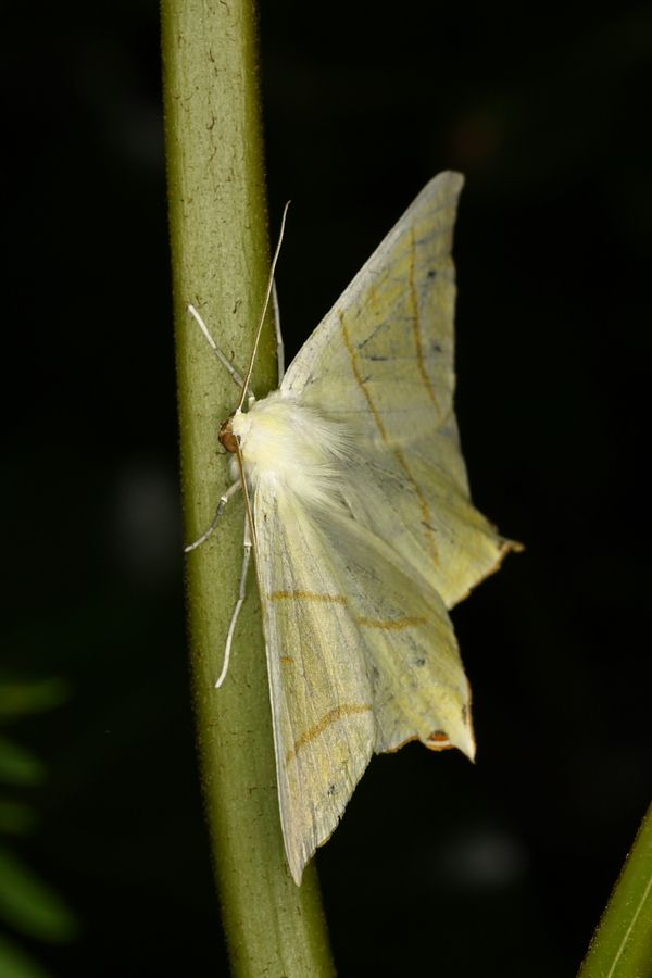 Swallow Tail Moth 60