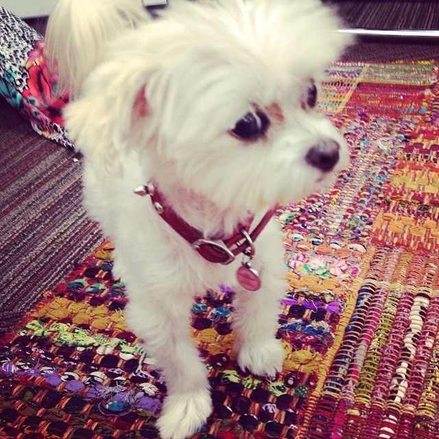Lulu joining in on a meeting at Hyatt Regency San Francisco. Photo courtesy of @mindbodyzone on Instagram. #PetsofHyatt