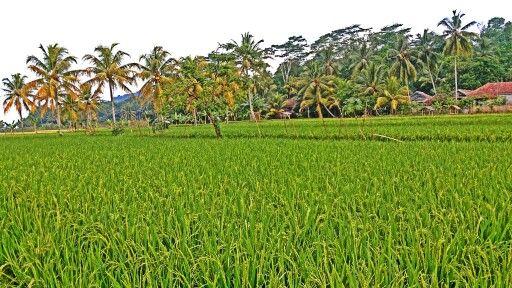 Padi padi hijau