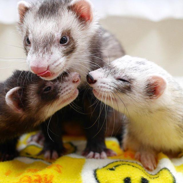 はなひなふなのお写真タイム ʢ ʡຕ ねーねたちはぼくがめっちゃ守るしみたいな ʢʡ ふなに守ってもらうもん ʢʡฅ 超守られちゃうかも はなちゃんのお写真タイム ひなちゃんのお写真タイム ふなくんのお写真タイム Ackey Tribute Funny Ferrets Ferret Animals