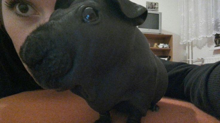 Little mini hippo, skinny guinea pig i love him