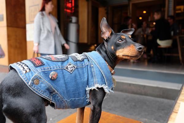 Dog friendly bars in Melbourne  www.pethaus.com.au   #battlejacket  #dogdenim #englishtoyterrier