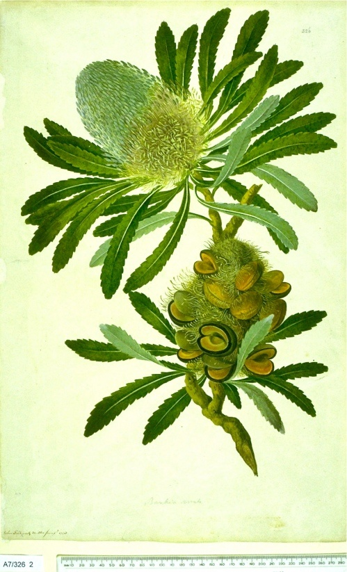Historical botanical illustration of the day: Banksia serrata