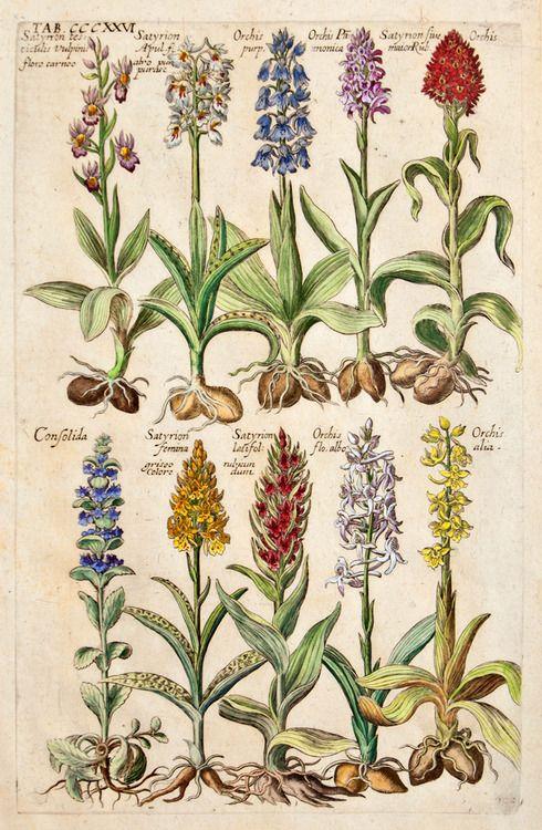 From Viridarium Reformatum, seu Regnum Vegetabile: Krauter Buch (Newly Revised Garden of the Plant Kingdom: Herb Book), Michael Bernhard Valentini (1657-1729) editor. Frankfurt, Anton Heinscheidt, 1719