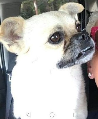 ADOPTED!!  Mary Esther, FL - Cooper is an adoptable Pug searching for a forever family;  LOCATED at Save UnderDogs, Mary Esther, FL