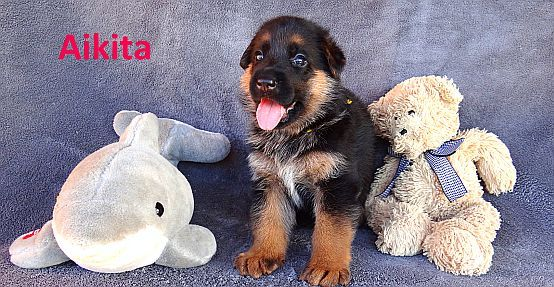 Sparer German Shepherds | GSD Puppies for Sale