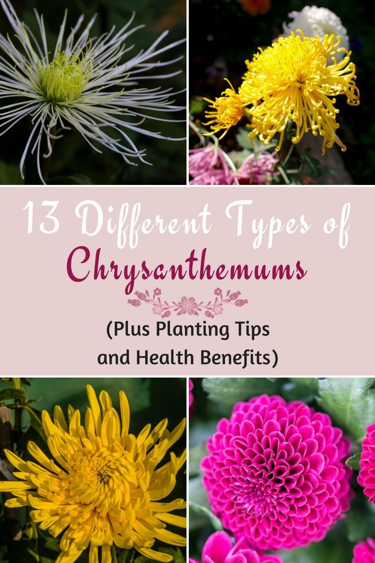 13 Different Types Of Chrysanthemums Plus Planting Tips And Health Benefits Plants Most Popular Flowers Chrysanthemum