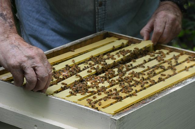 """""""Местные пчеловоды Реагировать на план спасения пчел, других опылителей» от KOMUnews, выпущенные на Flickr под лицензией Creative Commons Attribution (https://creativecommons.org/licenses/by/2.0/~~HEAD=pobj), найти через Wylio"""