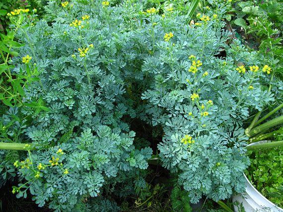 Organic Herb Seeds Rue Ruta Graveolens 0.25 Grams
