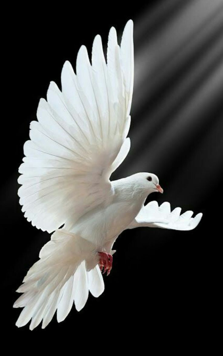 243 best holy spirits bird of peace images on pinterest holy the actor playing macbeth would have a dove on his shoulder as he enters to show his innocence doves are a symbol of innocence biocorpaavc