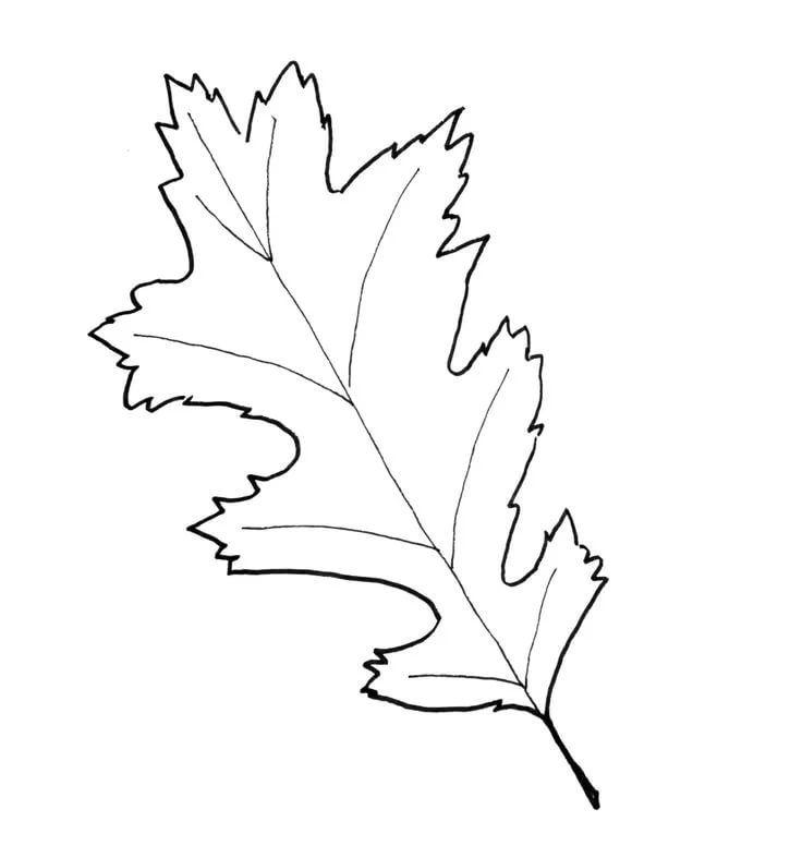 наличными картинка контур дубового листа ведь грязный потому