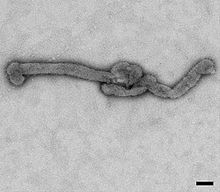Bourbon virus is an RNA virus in the genus Thogotovirus of the family Orthomyxoviridae, which is similar to Dhori virus and Batken virus. It was first identified in 2014 in a man from Bourbon County, Kansas, United States, who died after being bitten by ticks.