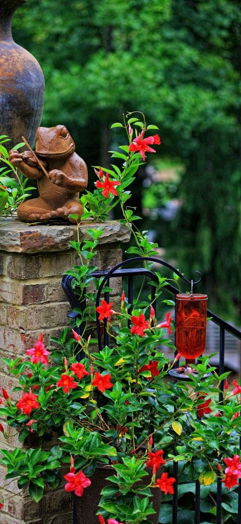 Plant A Mandevilla Around A Hummingbird Feeder The Large Red