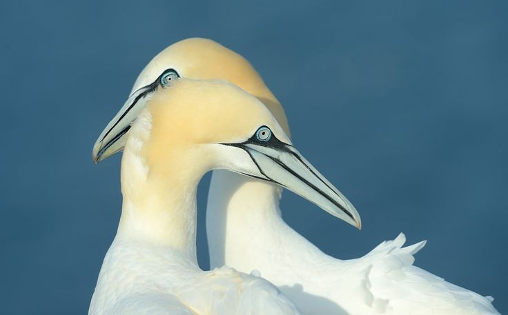 Harmony II by Harry  Eggens            Couple of Northern Gannets on Helgoland which is situated around 40 miles Northwest of Cuxhaven in the Northern part of Germany.The Island is famous for its large numbers of Northern Gannets among a lot of other different kind of birds.©Harry EggensWishing all of you a wonderful Sunday,Regards, Harry            Harry  Eggens: Photos                                 #animals #photography