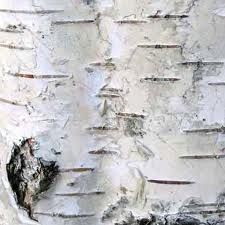 Birch bark - close-up