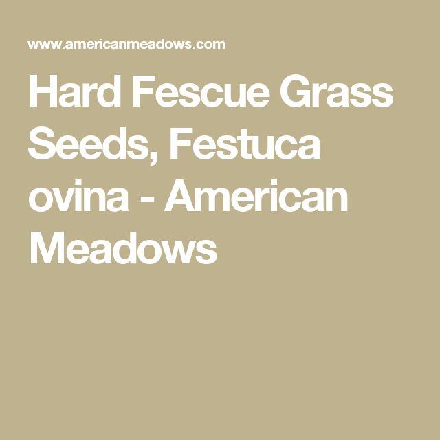 Hard Fescue Grass Seeds, Festuca ovina - American Meadows