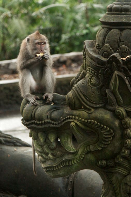 Undaunted. Meet some cheeky monkeys at a Bali Yoga Teacher Training with Zuna…