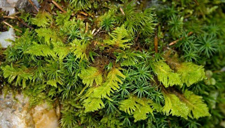 Ptilium crista-castrensis - pérovec hřebenitý