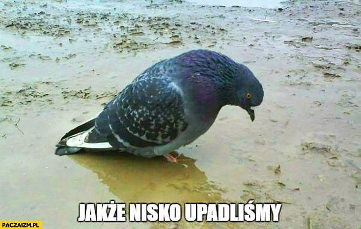 jakze-nisko-upadlismy-smutny-golab.jpg (735×466)
