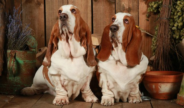 Bassets have a reputation for being slow and lazy, but these hunting dogs enjoy long, rambling walks. Learn all about Basset Hound breeders, adoption health, grooming, training, and more.